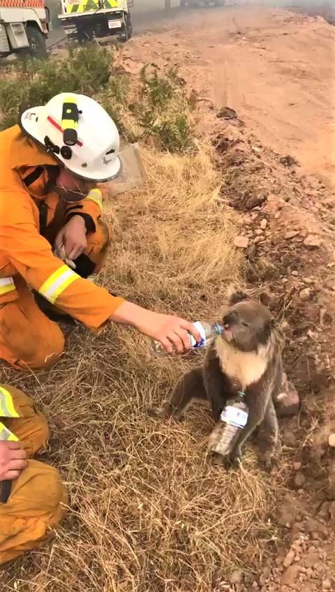 暖心消防员亲餵「逃过大火的无尾熊」喝水 牠口渴拜託:再给我多一瓶